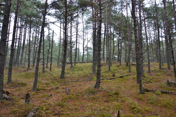 Late autumn forest of the Curonian spit