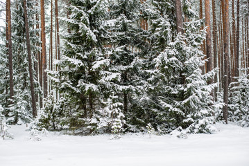Snow-covered pine forest on a cloudy winter day. Lahemaa national park, Estonia