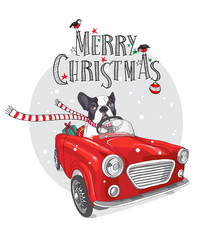 Christmas card. French Bulldog in a striped scarf with gift inside of the red car. Vector illustration.