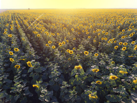sunflowers with aerial view