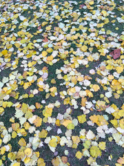Yellow autumn leaves on the ground in a park