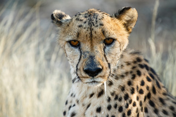 Gepard (Acinonyx jubatus), sitzend, Tierportrait