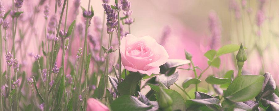 Lavendel, Blumenwiese mit Rose, romantisch, Panorama
