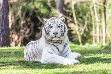 Photo sur Plexiglas Tigre tigre blanc