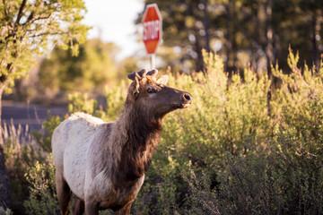 Elk looking towards the road