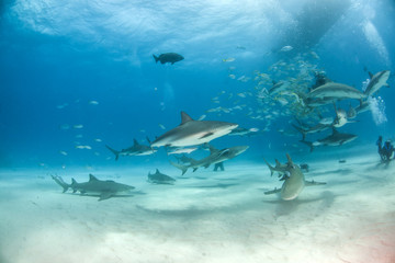 Caribbean reef shark at the Bahamas
