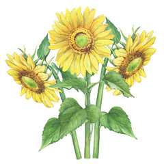 Branches with yellow flower of agriculture plant sunflower (also known as Helianthus annuus). Watercolor hand drawn painting illustration isolated on a white background