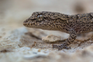 Head of Gecko on light colored rock