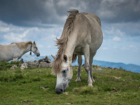 Two wild horses grazing on mountain