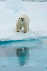 Polar bear taken around Svalbard Islands