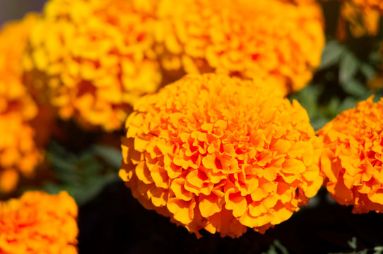 Lots of beautiful flowers in the garden. They are often called Mexican, Aztec or African marigold (Tagetes erecta).
