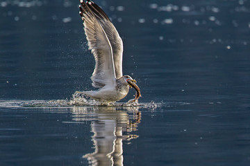 Seagull starts to fly off with fish.