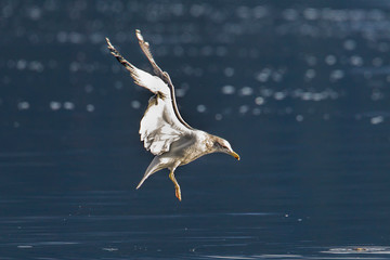 Seagull hovers above the lake.