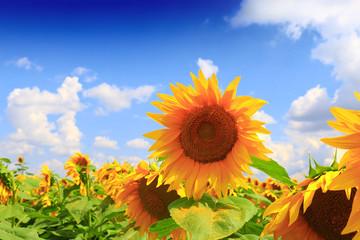 Photo sur Plexiglas Tournesol Beautiful sunflower against blue sky