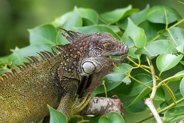 Green Iguana  (Iguana iguana) takes refuge on a tree branch, eats some of the tasty leaves.