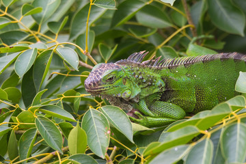 Green Iguana  (Iguana iguana) takes refuge on a tree branch, shelters from the heat of the sun.