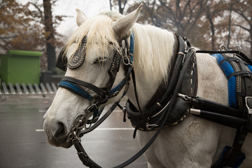 Central Park Carriage Horse. NYC