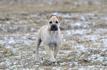Ca de Bou (Mallorquin Mastiff) puppy dog
