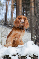 Red russian spaniel