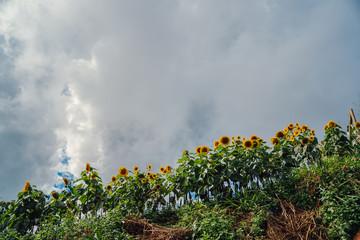 Sunflower on the mountain
