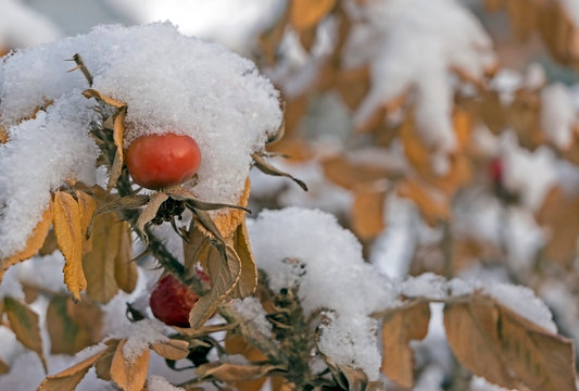 red and orange rose hips covered with snow