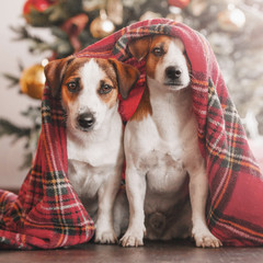 Two dogs near christmas tree