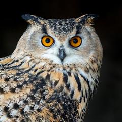 Tuinposter Uil Close up owl portrait