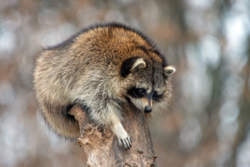 Wall Mural - Raccoon on a tree