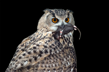 Big Owl eating a mouse