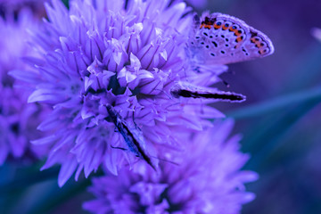Chalkhill Blue Butterfly (Lysandra coridon) sitting on purple onion flower and feeding. Dreamy, romantic, elegant, artistic image of wild nature, close up macro. Selective focus, lenses tilt-shift