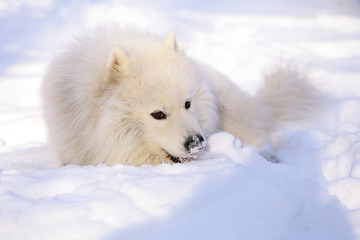 Beautiful dog Samoyed in the forest in the park on the snow