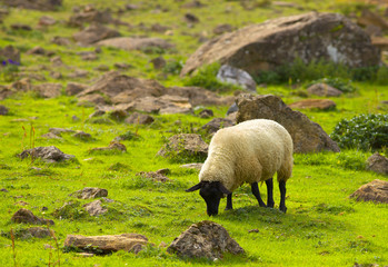 Grazing sheep on the green mountain stony meadow