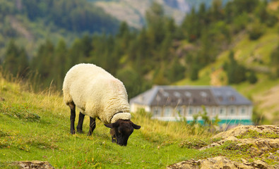 Grazing sheep on the green mountain meadow with hut on bacground, valley of Gavarnie, Pyrenees Occidentales, France
