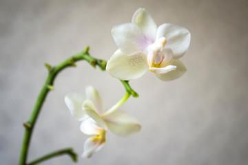 white orchid on black background. Phalaenopsis.