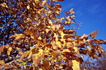 Apple tree with bright yellow leaves on sunny blue sky background