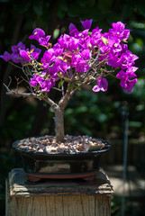 Photo Stands Bonsai Bougainvillea bonsai tree