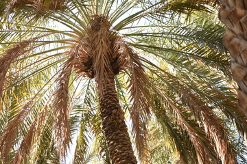 Single Palm Tree, Al Ain Oasis, UAE