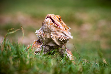 Bearded dragon in the grass, Indonesia
