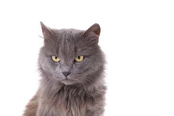 Beautiful grey cat isolated on a white background