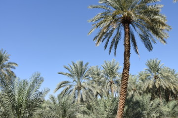 Palm Trees in Direct Sunlight, Al Ain Oasis, UAE