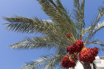 Palm tree with date fruits on the sky background