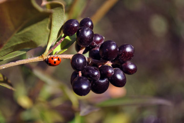 Ligustrum vulgare (wild privet, common privet, European privet) black ripe berries on branch with green leaves and ladybug close up detail, soft blurry yellow grass background