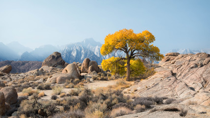 Lone tree in front of Mt Whitney, Alabama Hills, California, United States