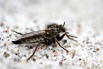 Insekt, Biene, Hornisse, Wespe, Fliege