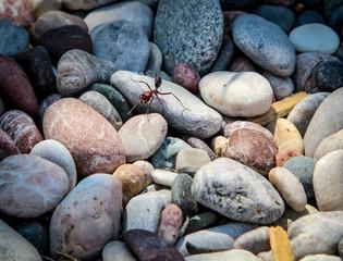 Ameise, große Ameise auf Steine