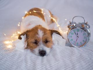Silvester, Countdown - Kleiner Terrierhund mit Papiertaschentuch im Ohr und Lichterkette auf einem Bett