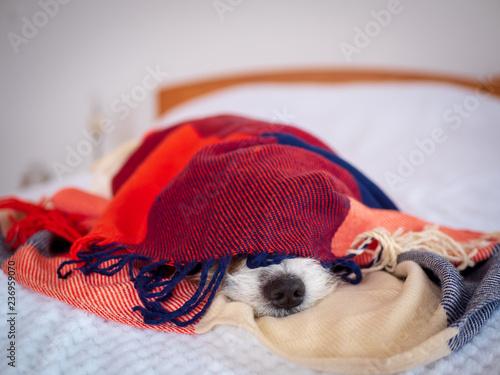 Hund in eine karierte Decke gewickelt auf einem Bett im ...