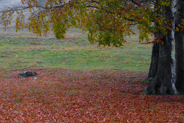 faggio (Fagus sylvatica) e tappeto di foglie