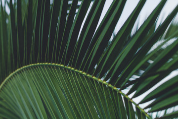 A branch of palm trees close up. Palm and tropical texture. Tropical wallpaper and background. Palm and tropical concept