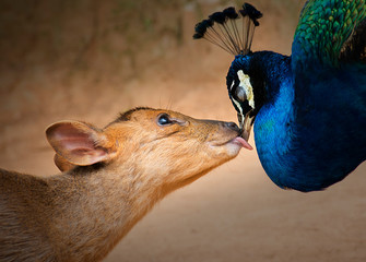 The peacock and the deer